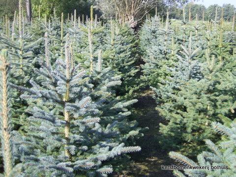 Bolhuis Kerstbomen Blauwspar